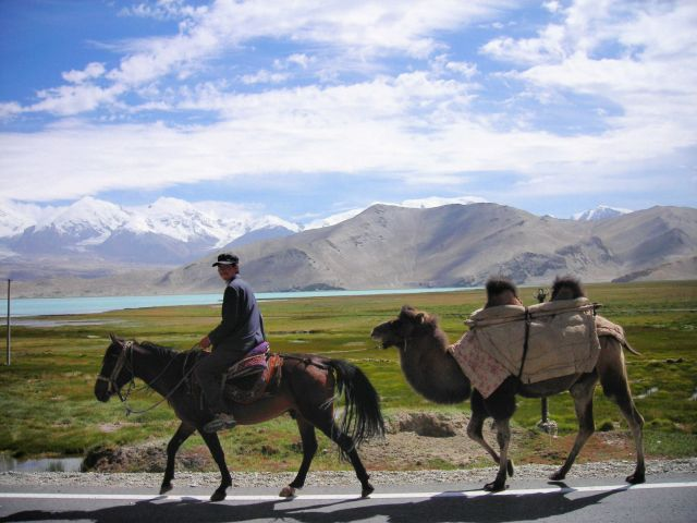 karakul-camels